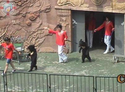 Медведи-боксеры в Циндао