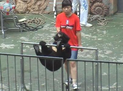 Медведи-боксеры в Циндао3